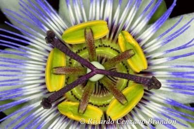 Flora-flor-Mburucuya-caliz-1200