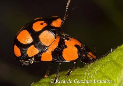 IMG_0758vaquita de S Antonio (Coccinellidae sp)_1 1200