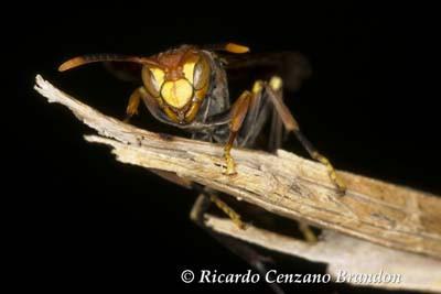 Insect-avispa-IMG_8846 1200